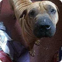 Shar Pei Dog for adoption in Jarrell, Texas - Maximus