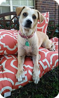 Australian Cattle Dog/Affenpinscher Mix Dog for adoption in Cat Spring, Texas - Hope