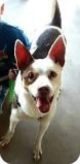 Sheltie, Shetland Sheepdog/Terrier (Unknown Type, Medium) Mix Dog for adoption in Mesa, Arizona - Scrappy