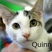 Domestic Shorthair Kitten for adoption in Wichita Falls, Texas - Quinn