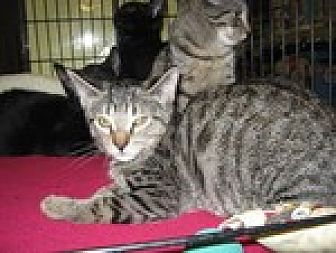 Domestic Shorthair Kitten for adoption in Arlington, Texas - Hialeah