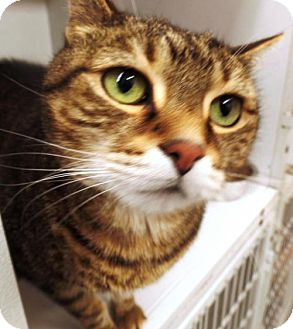 Domestic Shorthair Cat for adoption in Crown Point, Indiana - McKenzie