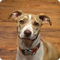 Pit Bull Terrier Mix Puppy for adoption in Seattle, Washington - MacKenzie