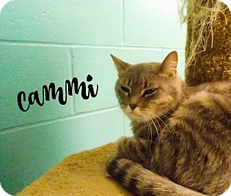 Domestic Shorthair Cat for adoption in Defiance, Ohio - Cammi