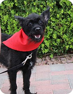Poodle (Miniature)/Terrier (Unknown Type, Small) Mix Dog for adoption in Las Vegas, Nevada - PRINCESS PUP