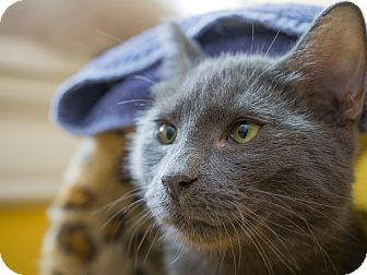 Russian Blue Cat for adoption in Los Angeles, California - Dusky