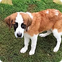 Adopt A Pet :: Sugar - McKinney, TX