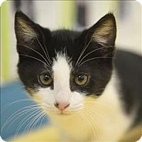 Adopt A Pet :: Chiffon - Mipiltas, CA