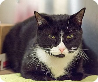 Domestic Shorthair Cat for adoption in New York, New York - James