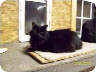 Persian Cat for adoption in Metairie, Louisiana - Mabel