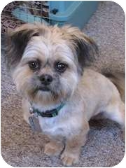 Prince | Adopted Puppy | East Hartford, CT | Lhasa Apso ...