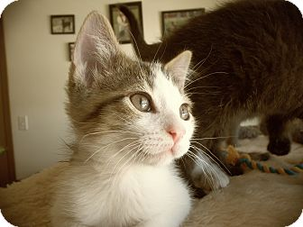 Domestic Shorthair Kitten for adoption in Silver Lake, Wisconsin - Genesis