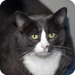 Domestic Shorthair Cat for adoption in Milwaukee, Wisconsin - Smokie