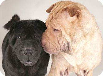 Shar Pei Dog for adoption in Chicago, Illinois - Peaches & Sassie