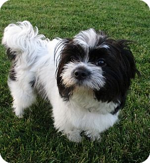 havanese and shih tzu marble adopted puppy irvine ca shih tzu havanese mix 2398