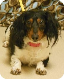 Dachshund Mix Dog for adoption in Gary, Indiana - Dino