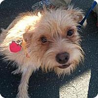 Adopt A Pet :: Scamp - Orange Cove, CA