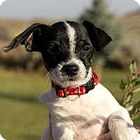 Adopt A Pet :: Roxie's Pup - Ashton - West Richland, WA