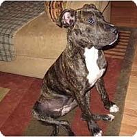 Adopt A Pet :: Sasha - Reisterstown, MD