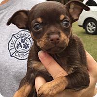 Adopt A Pet :: Launa#2F - Orlando, FL