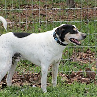 Jack Russell Terrier Mix Dog for adoption in Melbourne, Arkansas - Rocky