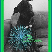American Bulldog Mix Dog for adoption in Friendswood, Texas - Bren