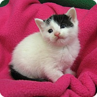 Domestic Shorthair Kitten for adoption in Redwood Falls, Minnesota - Lacy