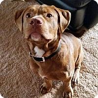 Adopt A Pet :: Buddy the puppy - Troy, MI