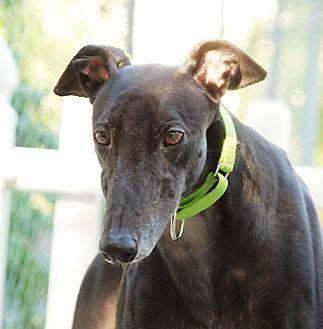 Greyhound Dog for adoption in Ware, Massachusetts - Tuck
