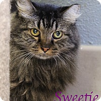 Domestic Mediumhair Cat for adoption in Bradenton, Florida - Sweetie
