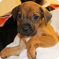 Adopt A Pet :: Drew - Philadelphia, PA