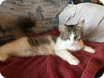 Domestic Mediumhair Cat for adoption in Valley Center, California - Sugar