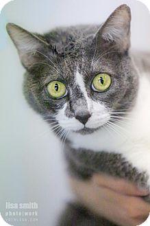 British Shorthair Cat for adoption in Plano, Texas - Mandy