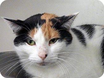 Domestic Shorthair Cat for adoption in Toledo, Ohio - CALLI