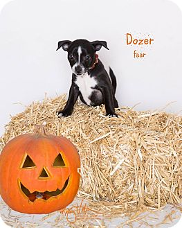 Rat Terrier/Pug Mix Puppy for adoption in Riverside, California - Dozer