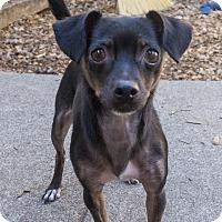 Adopt A Pet :: Pichu - Seattle, WA