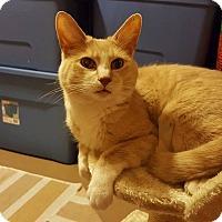 Domestic Shorthair Cat for adoption in Rochester, Minnesota - Socks