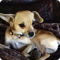 Chihuahua Mix Dog for adoption in Portland, Maine - OSCAR