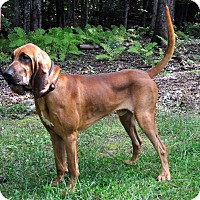 Adopt A Pet :: Max the Bloodhound - East Hartland, CT