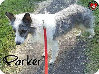 Border Collie Dog for adoption in Joliet, Illinois - Parker