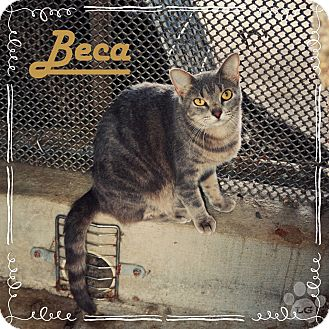Domestic Shorthair Cat for adoption in Converse, Texas - Beca