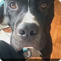 Pit Bull Terrier Dog for adoption in Milwaukee, Wisconsin - Diesel