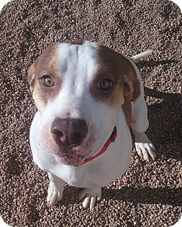 Hound (Unknown Type)/Boxer Mix Dog for adoption in Colorado Springs, Colorado - Simon
