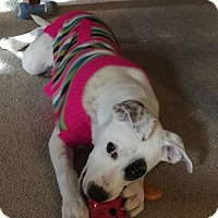 Pointer/Pit Bull Terrier Mix Puppy for adoption in Overland Park, Kansas - Pippa