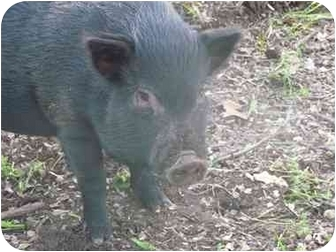 Pig (Potbellied) for adoption in Las Vegas, Nevada - Dandy