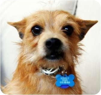Cairn Terrier/Terrier (Unknown Type, Small) Mix Dog for adoption in Van Nuys, California - HARRY