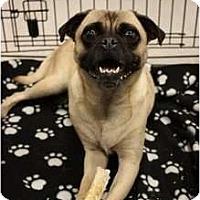 Adopt A Pet :: Luna - Arlington, TX