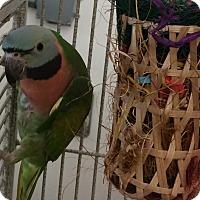 Adopt A Pet :: Cory - Punta Gorda, FL