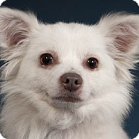 Adopt A Pet :: Tobo - Chicago, IL