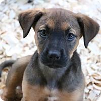 Adopt A Pet :: Luna Pup (Susan) - Homestead, FL